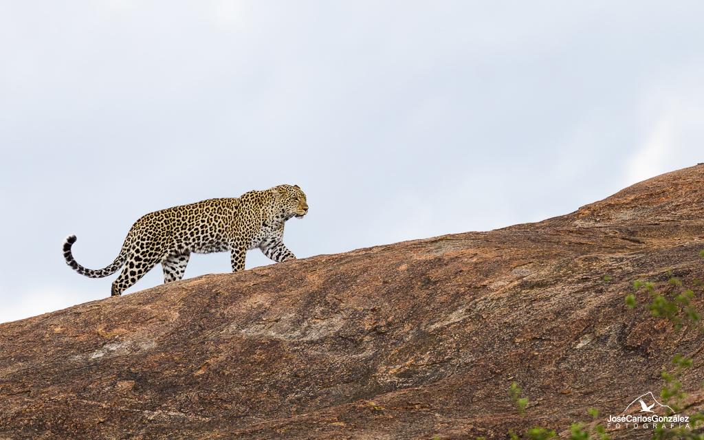 Serengueti - Leopardo