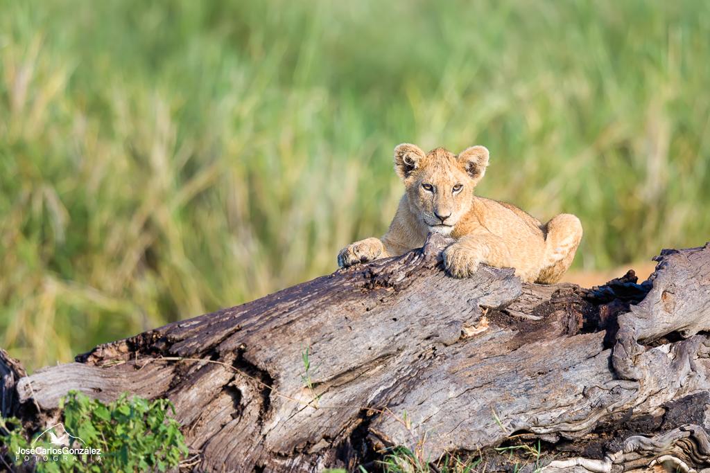 Serengueti - Cachorro de león