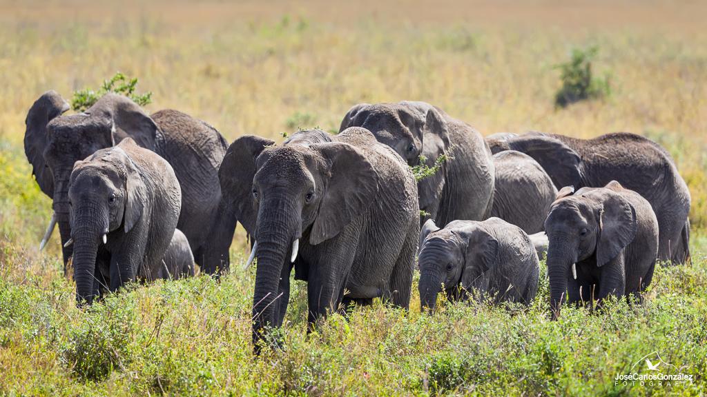 Serengueti - Manada de elefantes