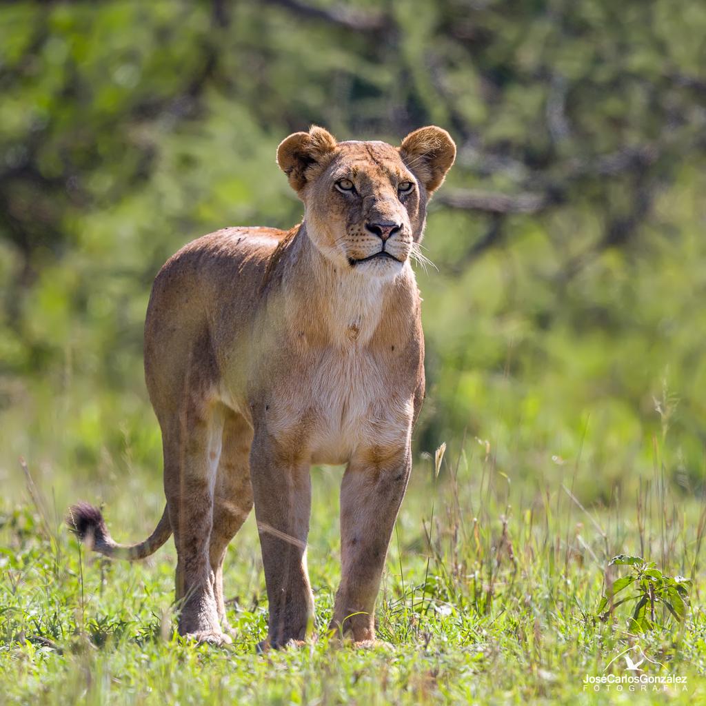 Serengueti - Leona