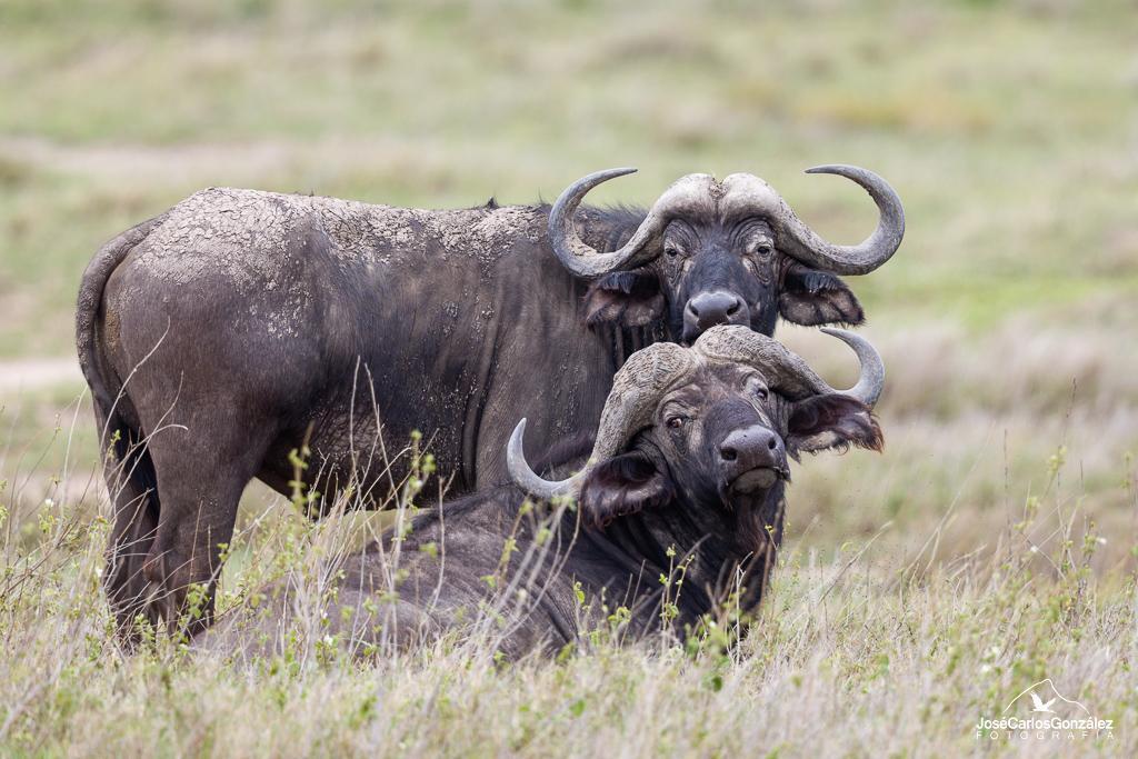 Serengueti - Búfalos