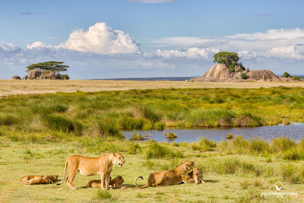 Serengueti - Leones