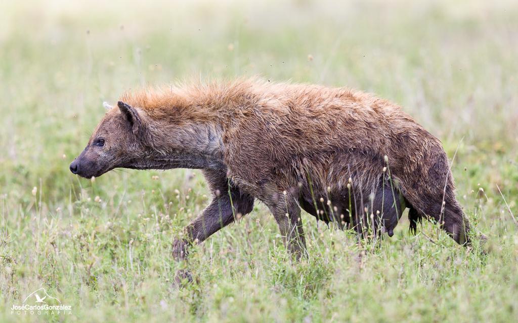 Serengueti - Hiena