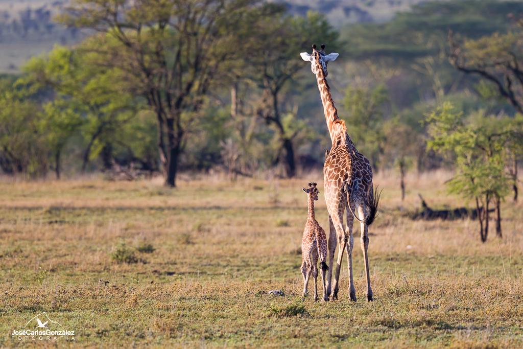 Serengueti - Jirafas