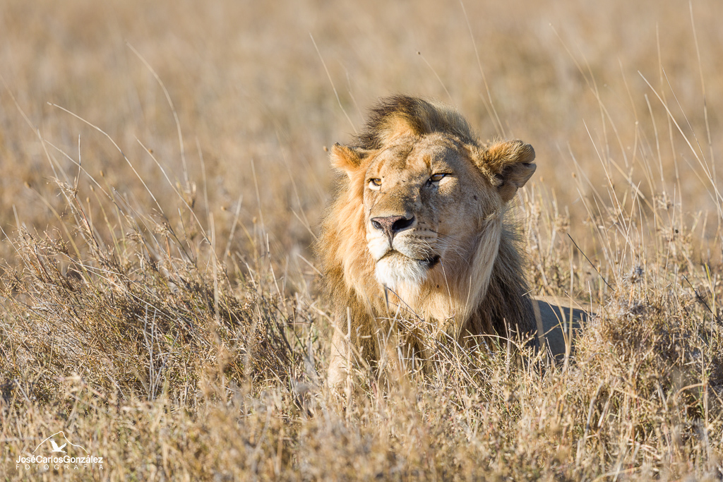 Serengueti - León