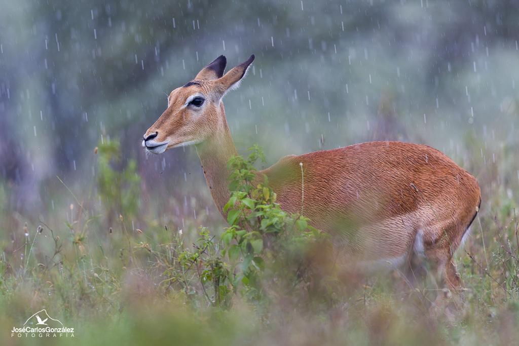 Serengueti - Impala