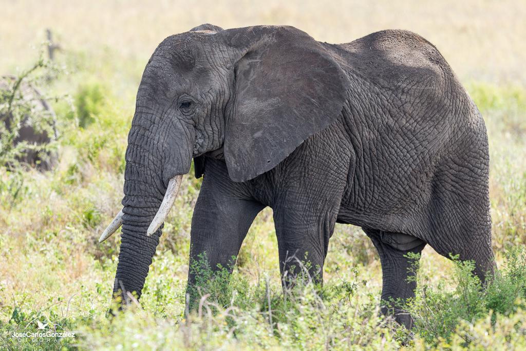 Serengueti - Elefante