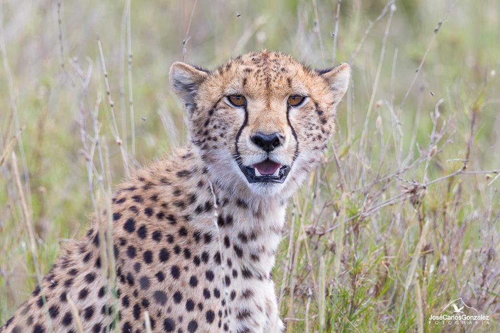 Serengueti - Guepardo