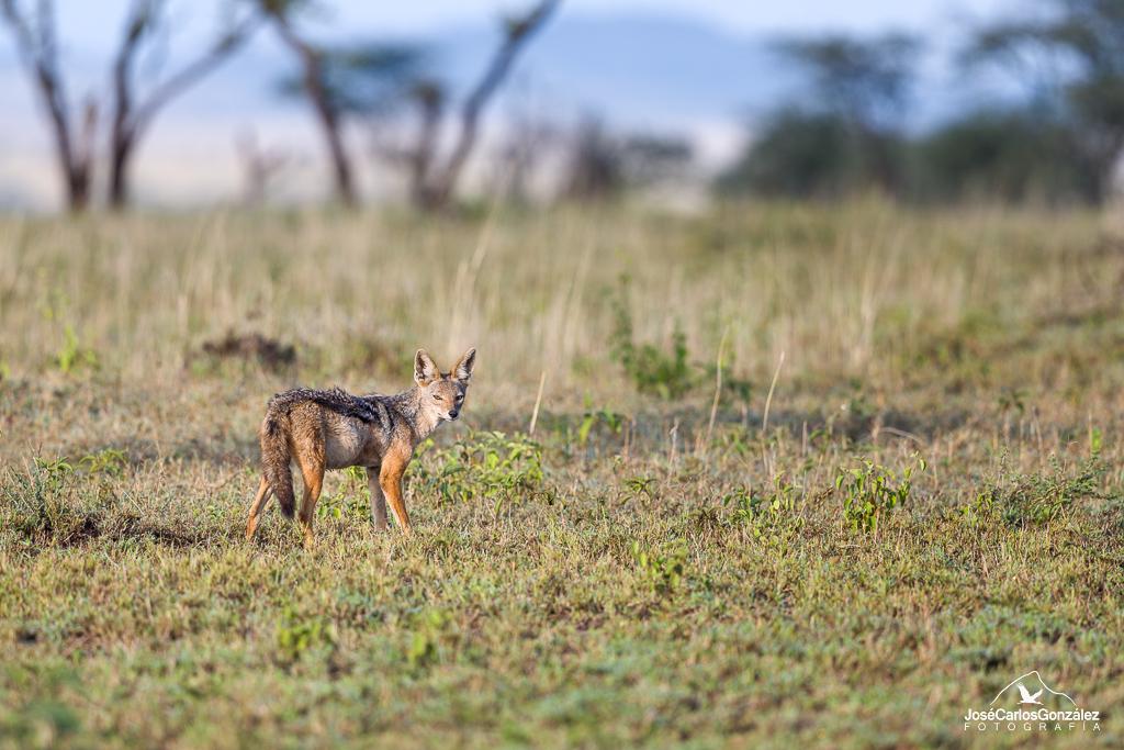 Serengueti - Chacal de lomo negro