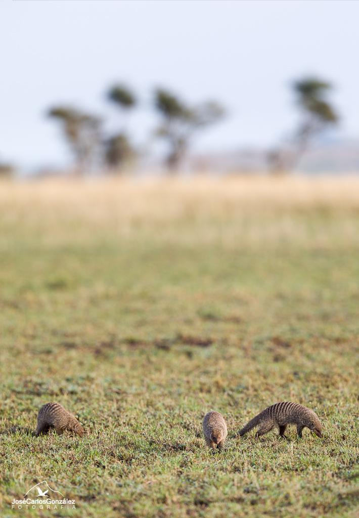 Serengueti - Mangostas rayadas