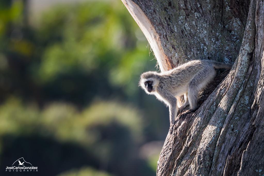 Serengueti - Cercopiteco verde