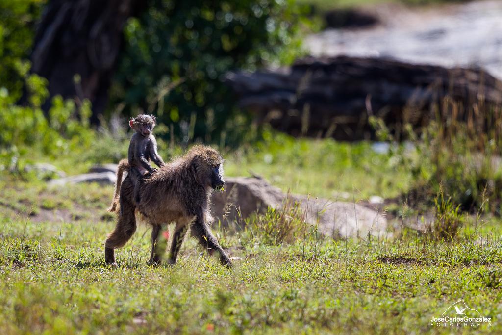 Serengueti - Babuino