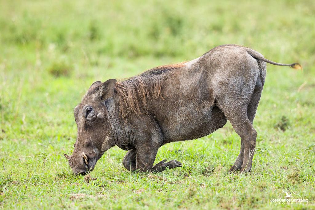 Serengueti - Facóquero