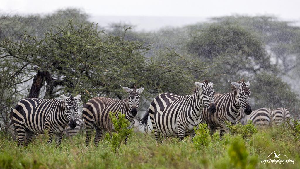Serengueti - Cebras