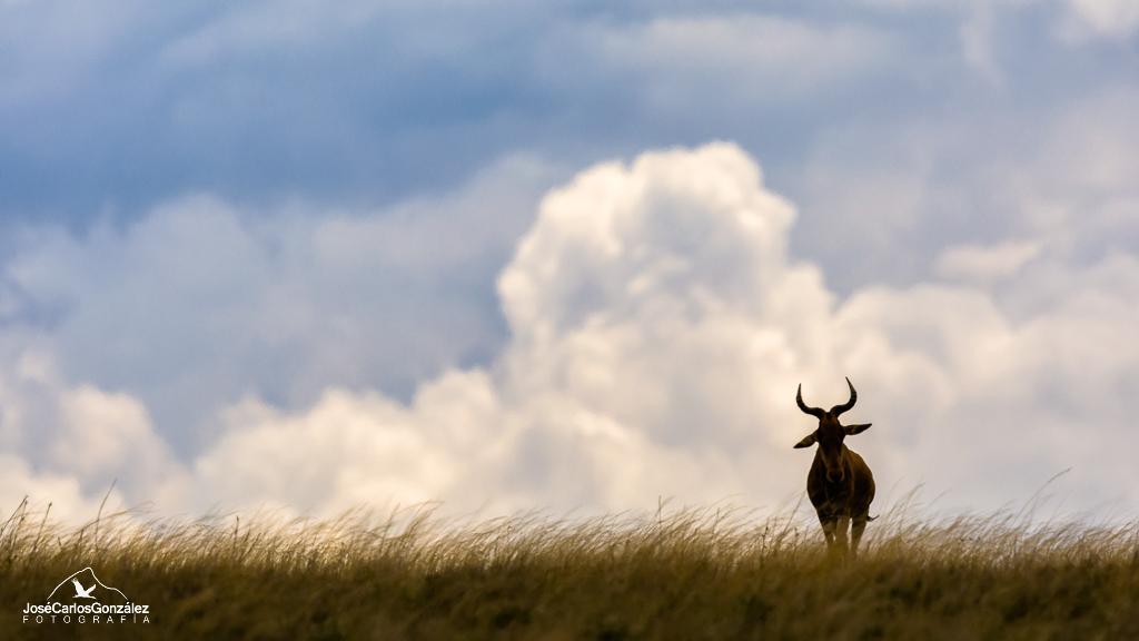 Serengeti - Búbalo de Coke