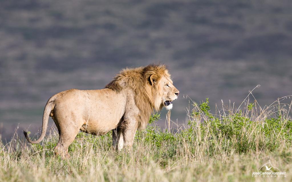 Ngorongoro - León