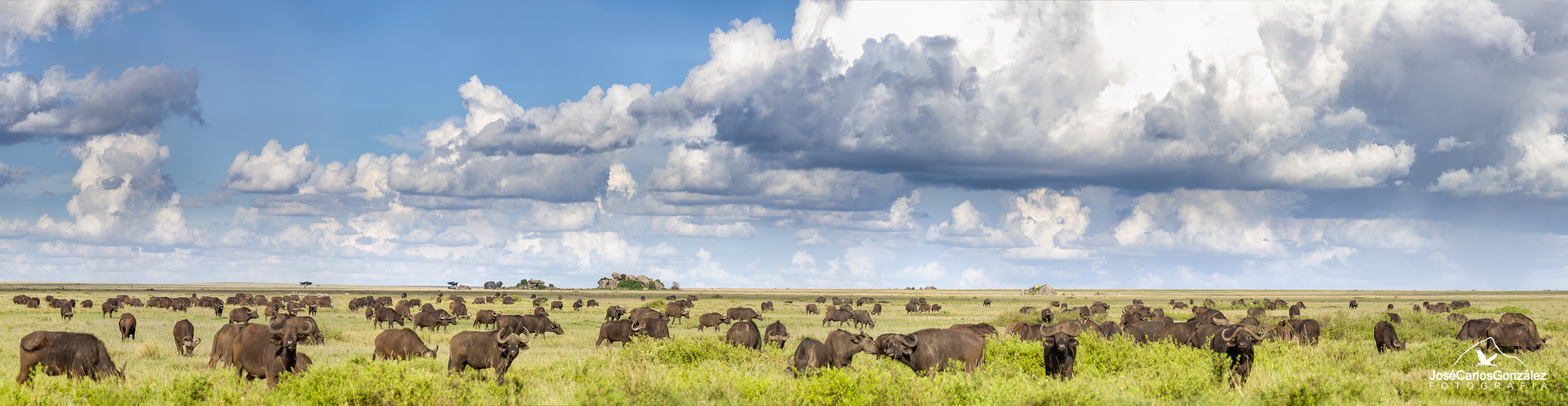 Serengeti - Manada de búfalos