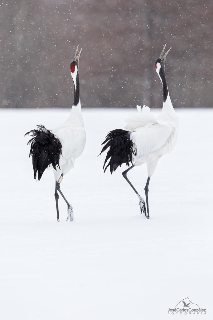 Manchurian crane
