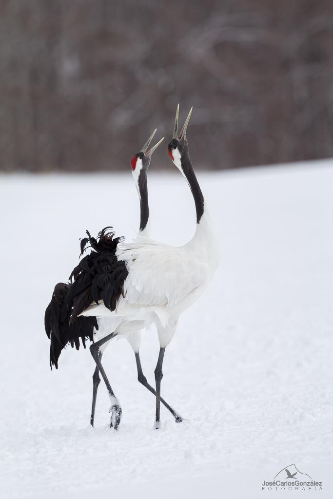 Manchurian cranes